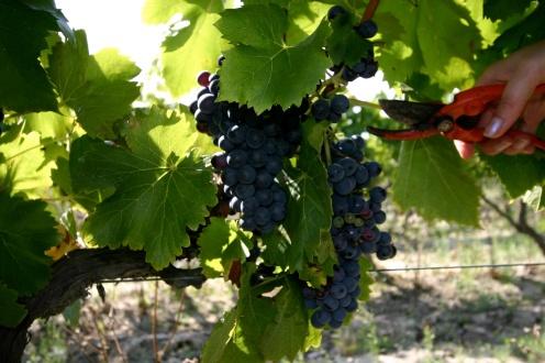 Découverte d'un vignoble du Languedoc-Roussillon, Méditerranée. Photo Serge Briez, Cap médiations pour Vin4 heures tour