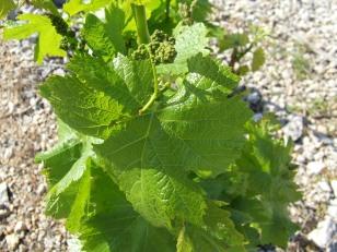 Pieds de vignes du Cap Leucate